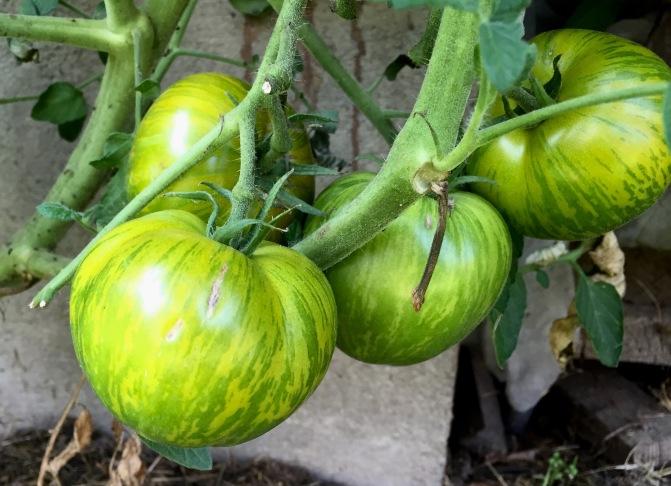 Tomate Paradeiser Grünes Zebra