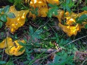 Pilze-Eierschwammerl-Pfifferlinge